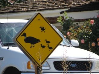 Duck Crossing (Weekly photo challenge)